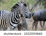 Stock photo zebra mother and baby 1022054860