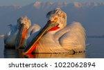 dalmatian pelican  pelecanus...   Shutterstock . vector #1022062894