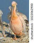 white pelican  pelecanus... | Shutterstock . vector #1022062900