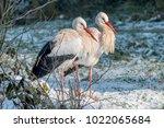 white stork in snow   Shutterstock . vector #1022065684
