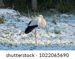 white stork in snow   Shutterstock . vector #1022065690