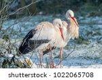 white stork in snow   Shutterstock . vector #1022065708