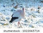 white stork in snow   Shutterstock . vector #1022065714