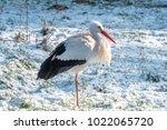 white stork in snow   Shutterstock . vector #1022065720