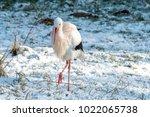 white stork in snow   Shutterstock . vector #1022065738