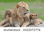 Stock photo lions family life 1022072776