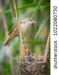 the great reed warbler ... | Shutterstock . vector #1022080750