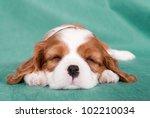 Sleeping Puppy Of A Cavalier...
