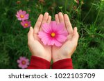 Beautiful Pink Cosmos Flower O...