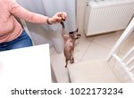 bald hairless cat  the cat of... | Shutterstock . vector #1022173234