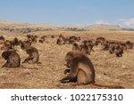 gelada baboons in simien... | Shutterstock . vector #1022175310