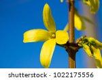 yellow flower of forsythia   Shutterstock . vector #1022175556