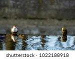white throated dipper standing... | Shutterstock . vector #1022188918