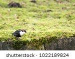 white throated dipper standing... | Shutterstock . vector #1022189824