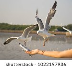 seagull flying down to take... | Shutterstock . vector #1022197936