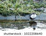 white throated dipper standing... | Shutterstock . vector #1022208640