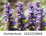 Small photo of Close up of blooming ajuga flowers