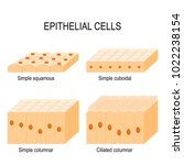 types of epithelial cells ... | Shutterstock .eps vector #1022238154