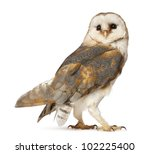 Stock photo barn owl tyto alba standing in front of white background 102225400