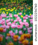 colorful tulips with beautiful... | Shutterstock . vector #1022256760