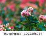 beautiful  azalea bush blossom... | Shutterstock . vector #1022256784