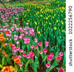 colorful tulips with beautiful... | Shutterstock . vector #1022256790