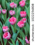 colorful tulips with beautiful... | Shutterstock . vector #1022256808
