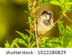 male or female house sparrow or ... | Shutterstock . vector #1022280829