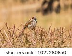 male or female house sparrow or ... | Shutterstock . vector #1022280850