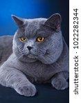 cat breed gree little wool eyes ... | Shutterstock . vector #1022282344
