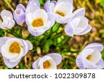 crocus  plural crocuses or... | Shutterstock . vector #1022309878