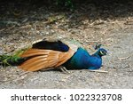 peafowl  peacock  blue and...   Shutterstock . vector #1022323708