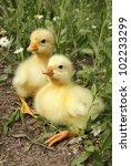 Two Goose Chicks Goslings