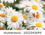 flowering.  blooming chamomile... | Shutterstock . vector #1022343694