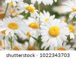 Flowering.  Blooming Chamomile...