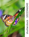 Small photo of Red Lacewing (Cethosia bilbis) tropical butterfly resting in feeding nectar in jungle forest plants and flowers.