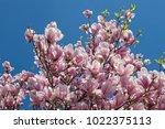 Blooming Magnolia In Spring