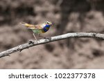 beautiful bird bluethroat with...   Shutterstock . vector #1022377378