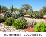 Small photo of Garden of cacti, agaves and succulents near to famous archaeological site Tula de Allende, Hidalgo state, Mexico, North America