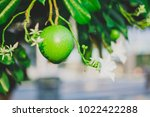 Small photo of Green leaves and green fruits Alstonia pneumatophora It is a tropical plant in Thailand. It is classified as ornamental tree shade. It is a tree that is grown in Thailand because it is considered a s