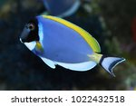 Small photo of Powderblue tang (Acanthurus leucosternon)