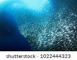 Stock photo sardine run in moalboal cebu philippines 1022444323