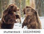 brown bear fight in the forest | Shutterstock . vector #1022454040