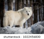 Small photo of Lonely Arctic Wolf - Canis Lupus Arctos - Walking In The Snow