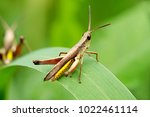 grasshopper macro with nature... | Shutterstock . vector #1022461114