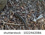 wild lizard eastern blue tongue ...   Shutterstock . vector #1022462086