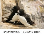 razorbills huddled together | Shutterstock . vector #1022471884