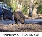 Wild Boar  Sus Scrofa  By...