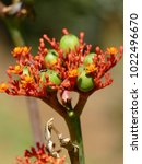 Small photo of Jatropha curcas is a species of flowering plant in the spurge family, Euphorbiaceae, that is native to the American tropics, When seeds are crushed, the resulting oil produce a high-quality biofuel.