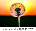 dandelion in summer. nature... | Shutterstock . vector #1022502670